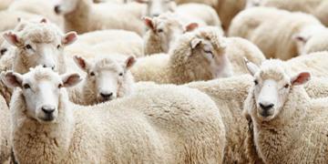 Tarım Bakanlığından 300 koyun projesi!